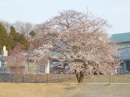 1,H26桜01.JPG