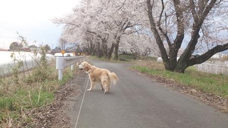 1,H26桜03.jpg