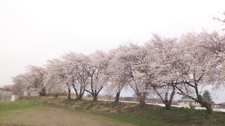 1,H26桜04.jpg