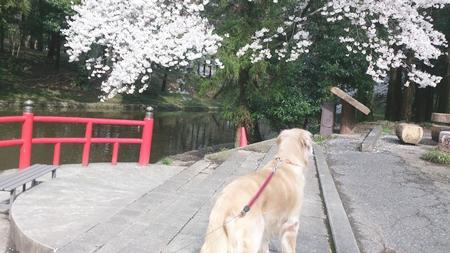 1,H26桜05.jpg