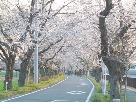 1,H26桜07.JPG