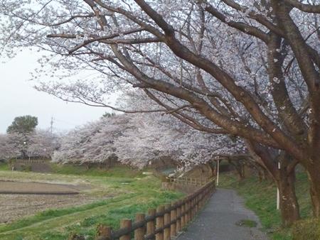 1,H26桜10.JPG