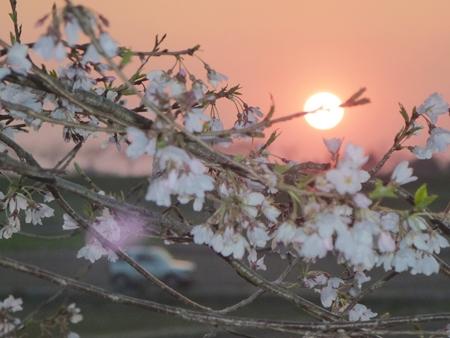 1,H26桜11.JPG
