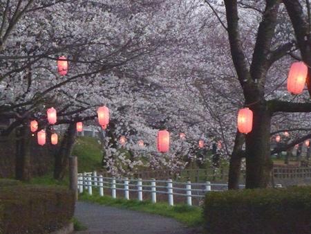 1,H26桜12.JPG